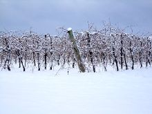 A photo of Winter Vines in Lincoln, Ontario